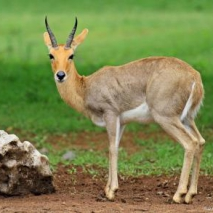 Mountain-Reedbuck