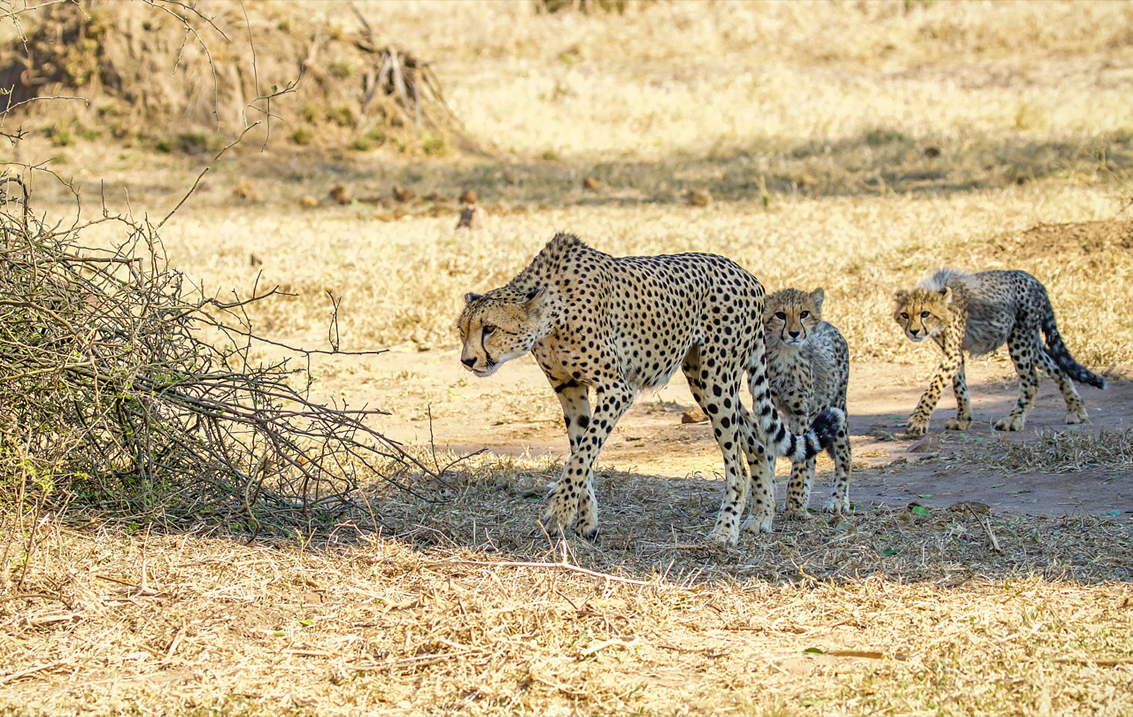Cheetah-&-Cubs-at-Mahove