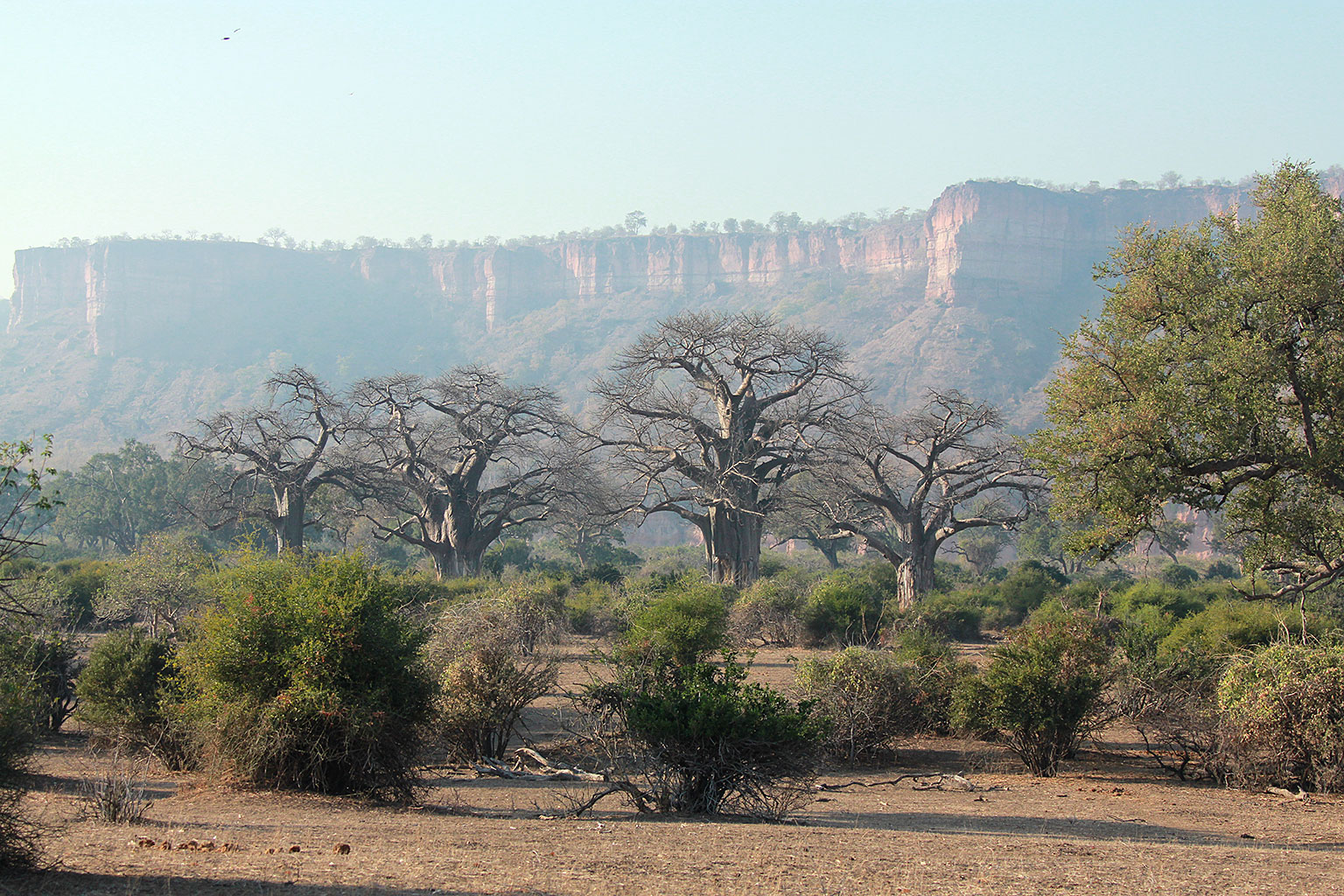 Floodplain-baobabs